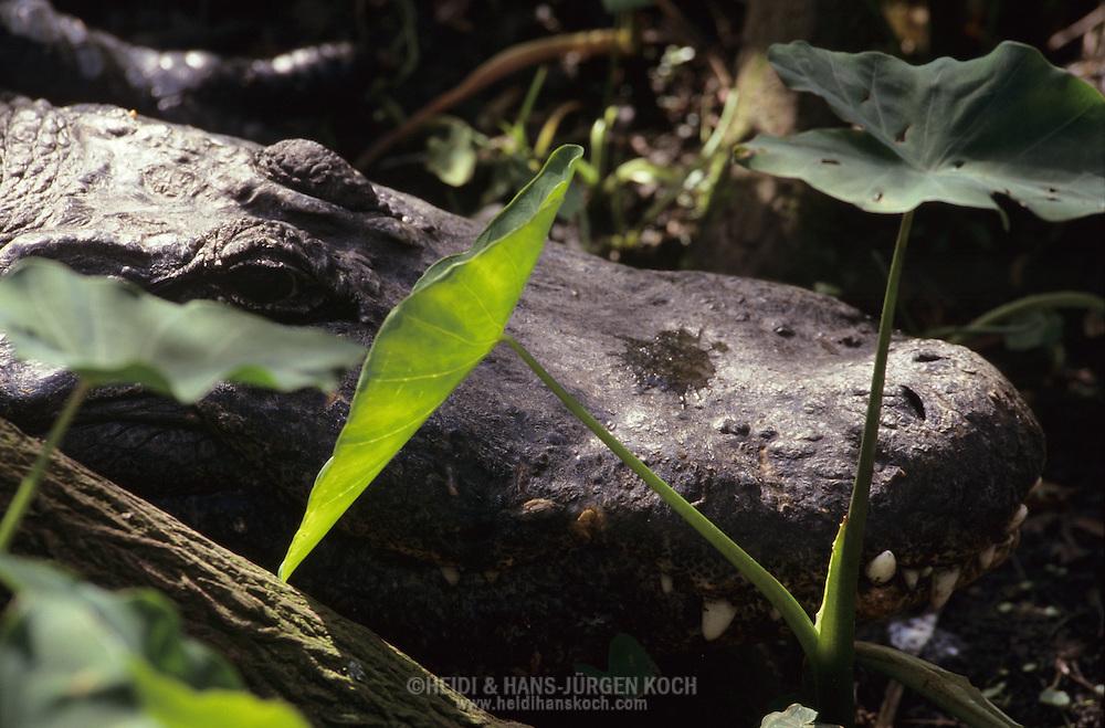 Vereinigte Staaten von Amerika, USA, Florida: amerikanischer Mississippi-Alligator (Alligator mississippiensis) versteckt in der Ufervegetation. | United States of America, USA, Florida: American Alligator, Alligator mississippiensis, hidden in vegetation. |