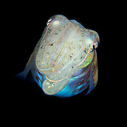Cuttlefish Sepiidae sp. at Lembeh Straits, Indonesia.