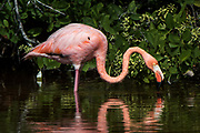Greater Flamingo (Phoenicopterus ruber)<br /> Isabela Island, GALAPAGOS,  Ecuador, South America<br /> endemic subspecies