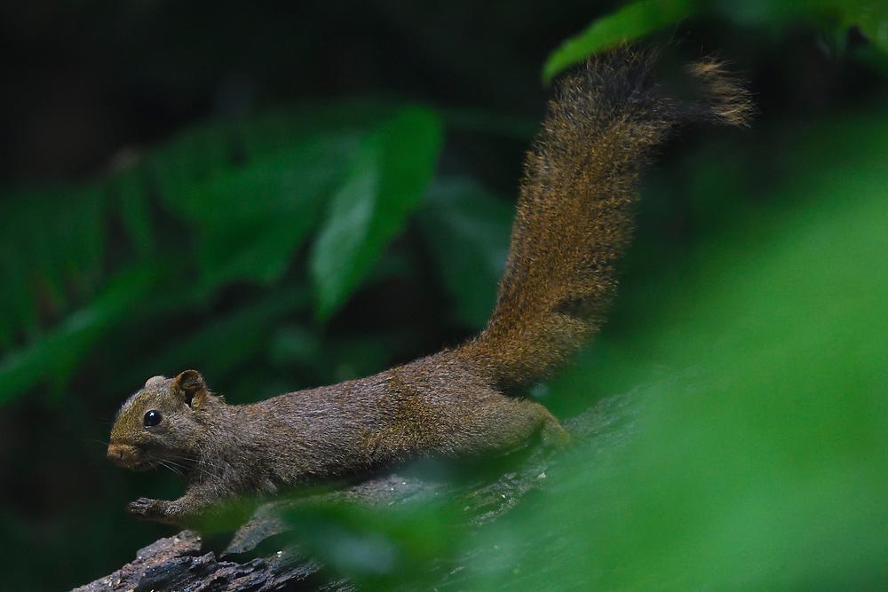 Pallas's squirrel, Callosciurus erythraeus, at  Tongbiguan nature reserve, Dehong Prefecture, Yunnan Province, China