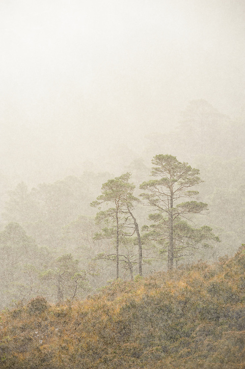Pines in rain, Beinn Eighe NNR, Torridon, Scotland