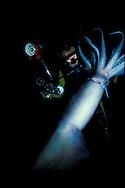 Humboldt squid (Dosidicus gigas) with diver, Sea of Cortez, Mexico