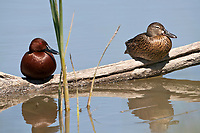 A male and female Cinnamon Teal resting on a log along a northern Utah river.