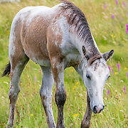 Connemara foal, Tully, Ireland
