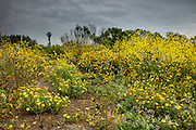 A variety of yellow spring wildflowers bloom after rainstorms in the Ballona Wetlands, one of the last significant wetlands remaining near Los Angeles, California.