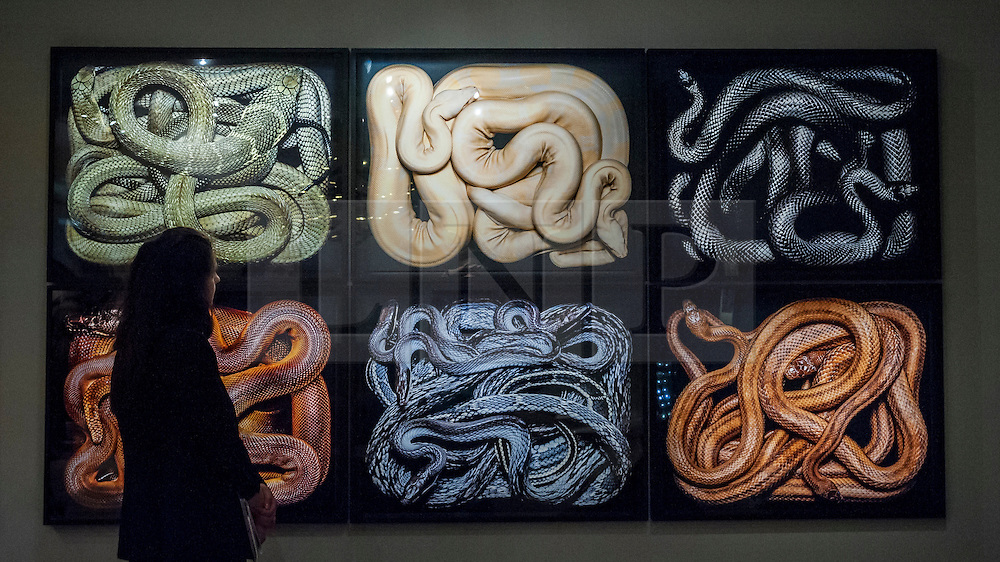 """© Licensed to London News Pictures. 24/06/2015. London, UK.   A visitor looks at Guido Mocafico's """"Snakes"""", at the preview of Masterpiece London, the international cross-collecting Fair for art, antiques and design which takes place at The Royal Hospital Chelsea 25 June to 1 July. Photo credit : Stephen Chung/LNP"""