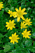 LESSER CELANDINE Ranunculus ficaria (Ranunculaceae) Height to 25cm. Perennial of hedgerows, open woodland and bare ground, sometimes forming clumps or patches. FLOWERS are 20-30mm across with 8-12 shiny yellow petals and 3 sepals (Mar-May); open only in sunshine. FRUITS are borne in a rounded head. LEAVES are heart-shaped, glossy and dark green. STATUS-Widespread and common.
