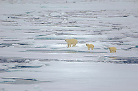 Sow and cub polar bears on sea ice in Barrow Strait just south of Cornwallis Island in Nunavut, Canada.