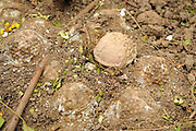 "A pile of 20, BLU 26 cluster bombs, laying buried in the dirt after being located by one of the Mines Advisory Group ladies teams.  Cluster bombs like these are extremely dangerous and can explode with the slightest movement.  When detonated each bomb has hundreds of metal pellets that fire out at ballistic speed.  The women disposed of the bombs without moving them in a controled demolition using TNT and C4 explosives...Laos was part of a ""Secret War"", waged within its borders primarily by the USA and North Vietnam.  Many left over weapons supplied by China and Russia continue to kill.  However, between 90 and 270 million fist size cluster bombs were dropped on Laos by the USA, with a failure rate up to 30%.  Millions of live cluster bombs still contaminate large areas of Laos causing death and injury.  The US Military dropped approximately 2 million tons of bombs on Laos making it, per capita, the most heavily bombed country in the world. ..The women of Mines Advisory Group (MAG) work everyday under dangerous conditions removing unexploded ordinance (UXO) from fields and villages...***All photographs of MAG's work must include (either on the photo or right next to it) the credit as follows:  Mine clearance by MAG (Reg. charity)***."