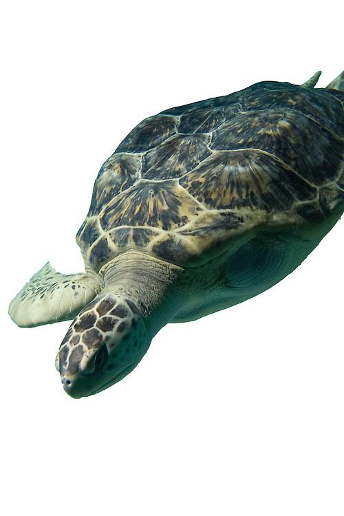 Calypso, The National Aquairum's Green Sea Turtle in Black Tip Reef | August 11, 2015