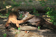 White-nosed coatis (Nasua narica) fighting. Tropical dry forest, Palo Verde National Park, Guanacaste, Costa Rica.