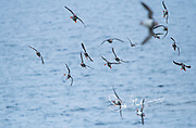 Atlantic puffins in flight along the coast of Staffa Island, Scotland.