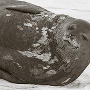 Weddell Seal at Hut Point