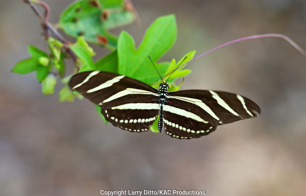 Zebra Heliconian (Heliconius charithonia) butterfly, south Texas