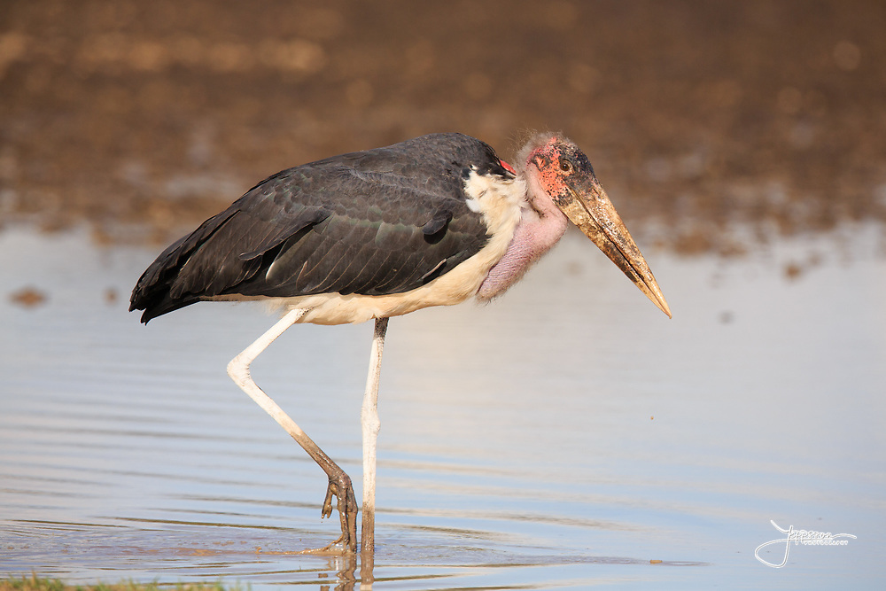 Marabou Stork, Maraboustork, Leptoptilos Crumeniferus, Ndutu south-eastern SerengetiNdutu south-eastern Serengeti