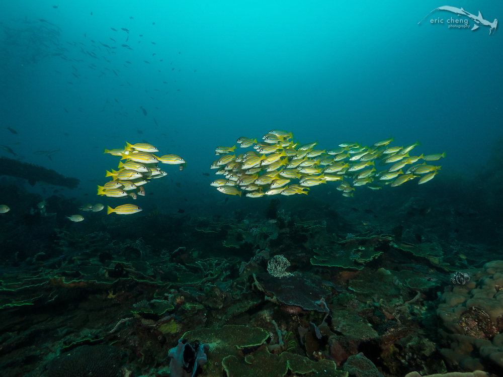 A school of bluestripe snapper (Lutjanus kasmira) is about to merge. Cannibal Rock, Horseshoe Bay, Komodo National Park, Indonesia.