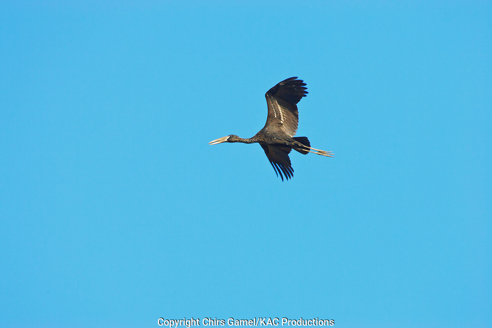Openbill Stork (Anastomus lamelligerus) flying against a blue sky, Serengeti National Park, Tanzania, Africa