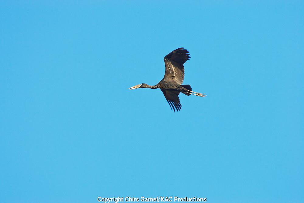 Openbill Stork (Anastomus lamelligerus) flying against a blue sky, Serengeti National Park, Tanzania, Africa