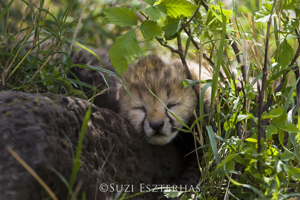 Cheetah<br /> Acinonyx jubatus<br /> 6 day old cubs in nest<br /> Maasai Mara Reserve, Kenya