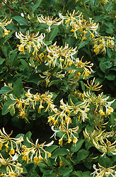 Lonicera 'Graham Thomas' - honeysuckle