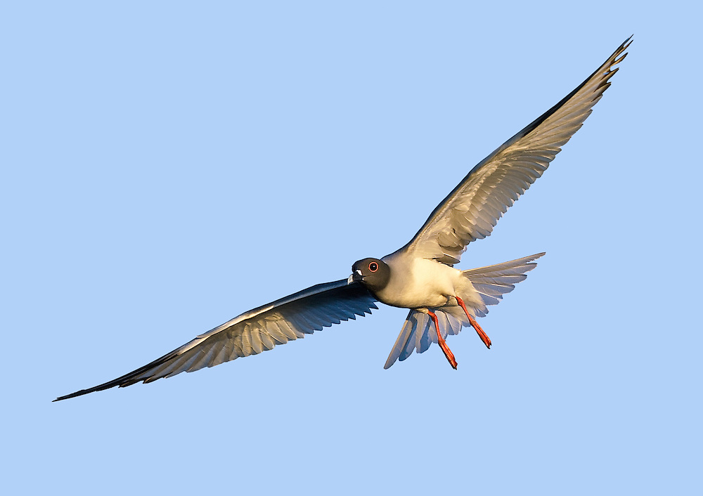 North Seymour Swallow-tailed Gull