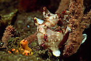 Clown-Anglerfisch (Antennarius Maculatus) | Warty frogfish or Clown Frogfish (Antennarius Maculatus)