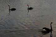 Sao Paulo_SP, Brasil...Cisne-negro (Cygnus atratus)  no lago do Parque do Ibirapuera...A black-swan (Cygnus atratus) in lake of Ibirapuera Park...Foto: MARCUS DESIMONI / NITRO