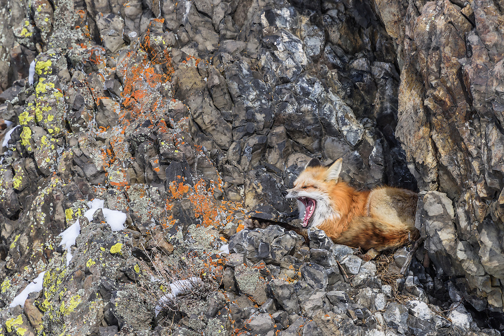 Rotfuchs im Yellowstone Nationalpark, USA