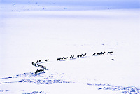 During the summer of 1988. wildfires burned approximately 1.4 million acres in the Greater Yellowstone ecosystem.  Many elk starved to death during the following winter, since much of their food source had been destroyed.  In this photo, a coyote follows a small herd of elk, patiently waiting for a sick starving elk to fall. Wyoming