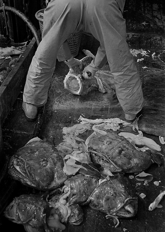 PZ 198, the 'Aaltje Adriaantje'.<br /> Gutting monkfish.<br /> <br /> These boats are out for seven days at a time in all weathers and the nets are hauled up every three hours around the clock. The crew consists of five self-employed fishermen who share the profits of the catch.