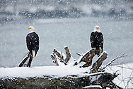 Snow falls on the Chilkat River near the Chilkat Bald Eagle Preserve as bald eagles (Haliaeetus leucocephalus) looks on perched on a tree stump near Haines in Southeast Alaska. Winter. Morning.