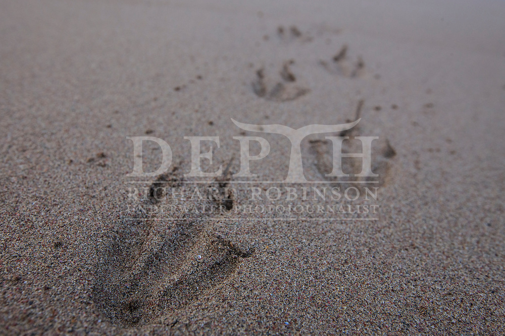 Megadyptes antipodes (Yellow eyed penguin) footprints at Sandy Bay, Enderby Island, Auckland Islands, New Zealand.<br /> 16 January 2016<br /> Photograph Richard Robinson &copy; 2016