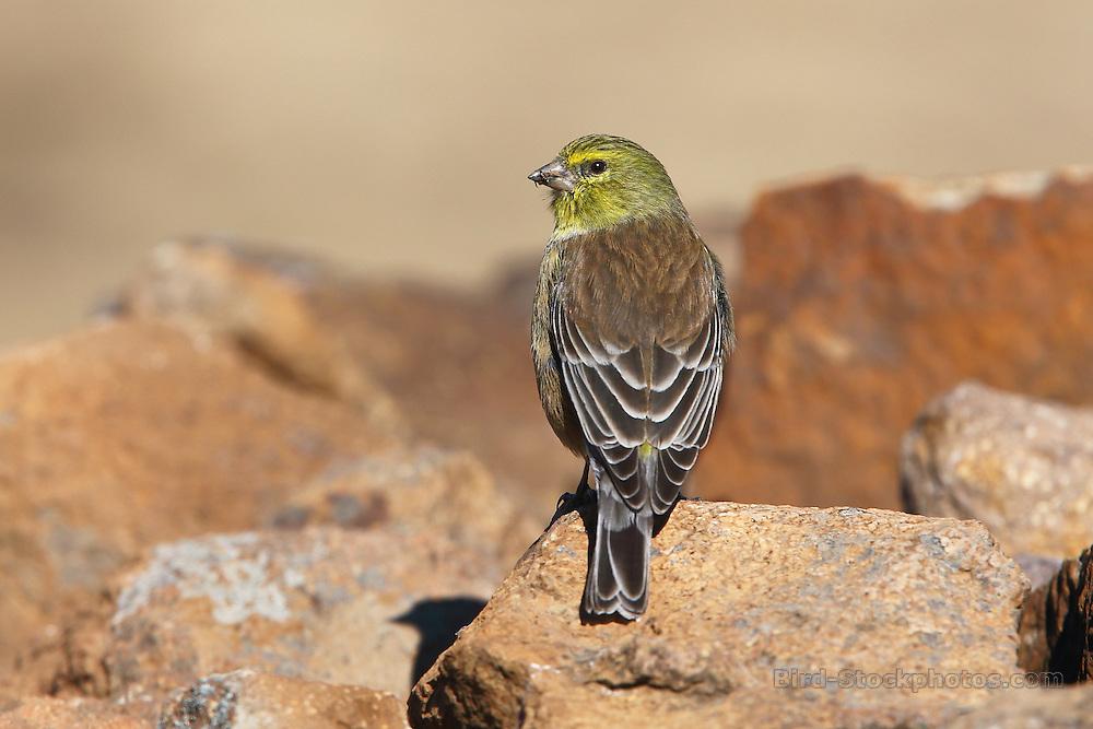 Drakensberg Siskin, Crithagra symonsi, Sani Pass, South Africa, by Adam Riley