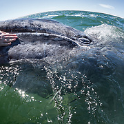 This gray whale calf (Eschrichtius robustus) and its mother approached the boat on multiple occasions, with the calf seeking out opportunities to be petted by people. The calf's mother is visible in the upper right corner of this photo, heading away from the boat and her calf. This type of interaction is relatively common in the gray whale nurseries of the Baja Peninsuala in Mexico.