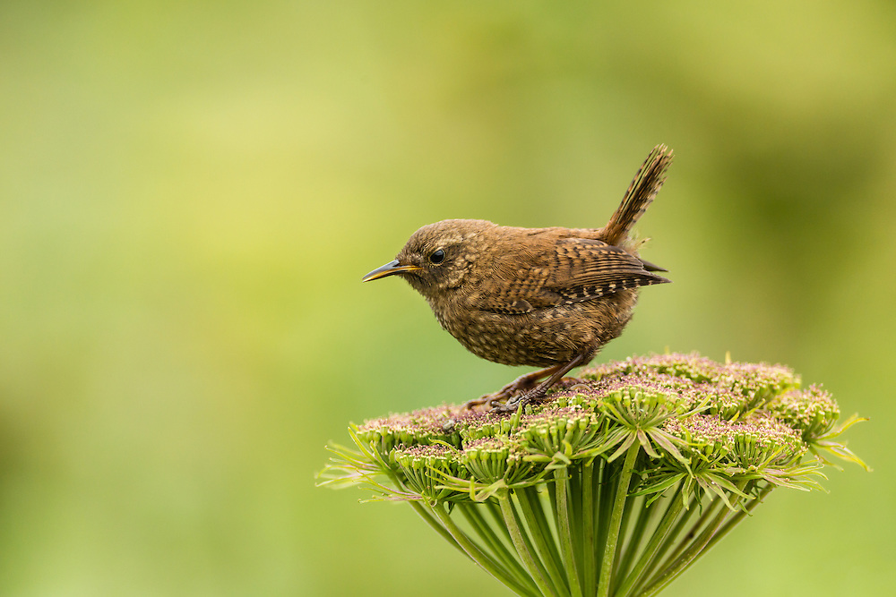 Pacific Wren (Troglodytes pacificus) perched on wild celery on St. Paul Island in Southwest Alaska. Summer. Afternoon.