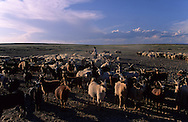 Mongolia. cattle breeder killing a sheep  in  Gobi desert    / troupeaux et éleveurs Gobi desert   11    L1352  /  P0003270