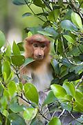 Proboscis Monkey<br /> Nasalis larvatus<br /> Juvenile in mangrove tree<br /> Sabah, Malaysia