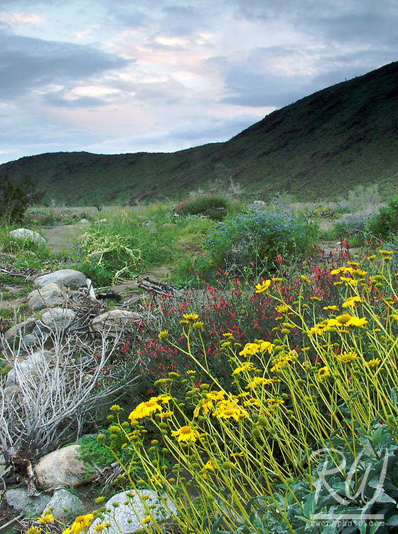 Spring Wildflowers at Anza Borrego Desert State Park, California