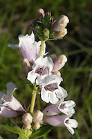 Foxglove, (Penstemon cobaea), Mason County, Texas