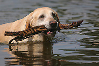 Dog fetching stick in water
