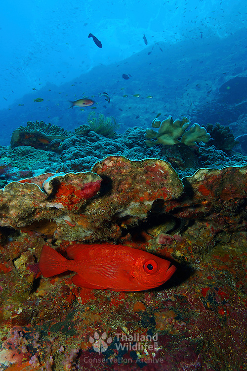 Bloch's Bigeye Priacanthus blochii at Lembeh Straits, Indonesia.