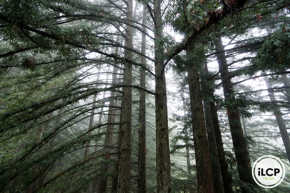 Coast Redwood (Sequoia sempervirens) forest in fog, Santa Cruz, Monterey Bay, California