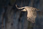 Vultures / Buitres