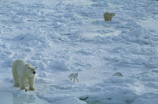 Polar Bear, (Ursus maritimus) Adult and arctic fox on the frozen shores of Churchill, Manitoba. Canada.
