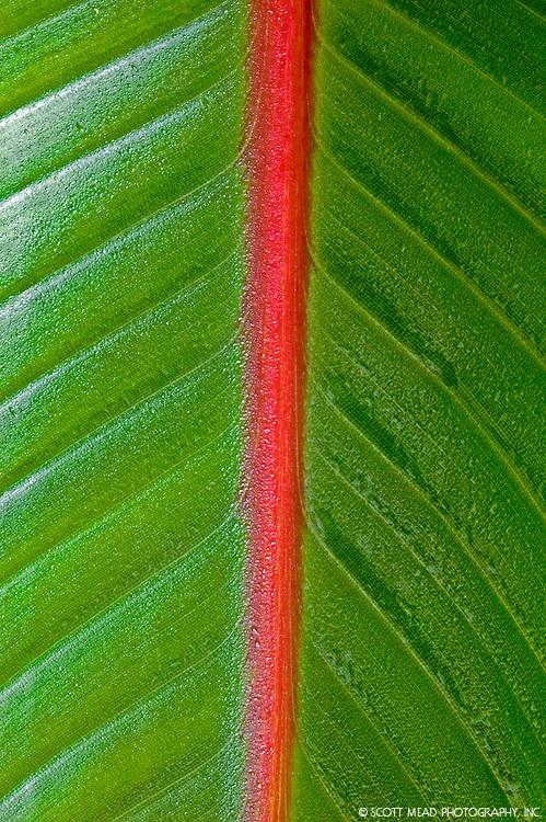Image of Banana plant leaf with red stripe, Hana, Maui, Hawaii