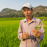 "CAPTION: ""Before, there was a lot of dead rice because we would grow the plants very close to each other"", says Mr Chung. ""Now we know the correct distance to plant the seeds, so they grow better"". He goes on to talk about techniques he's learned to increase his productivity. Here, he shows us diseased plants, which he now understands how to identify and remove. LOCATION: Coong Village, Huy Tuong, Son La Province, Vietnam. INDIVIDUAL(S) PHOTOGRAPHED: Vi Van Chung."