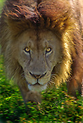 Male lion menacing