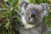 Koala <br /> Phascolarctos cinereus<br /> Adult male feeding<br /> Queensland, Australia<br /> *Captive