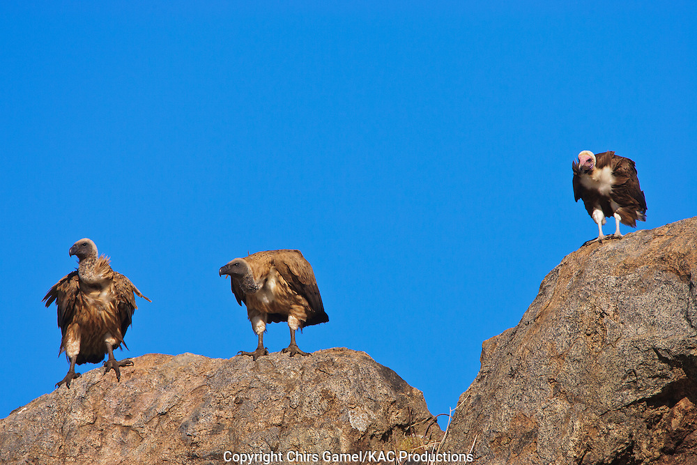 Three White-backed Vultures (Gyps africanus) perched on top of rocks against a blue sky, Serengeti National Park, Tanzania Africa; near threatened species; old world vulture; scavenger; social species