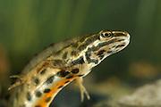 male Smooth newt, Common newt (Lissotriton vulgaris, formerly Triturus vulgaris) | Zum Atmen muss das Teichmolch-Männchen (Triturus vulgaris) an die Wasseroberfläche schwimmen.